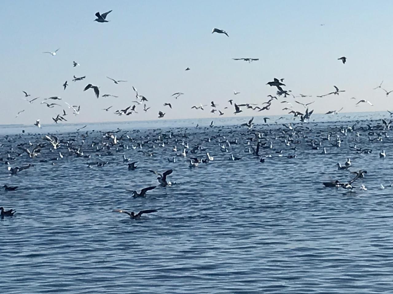 Птица с северов за хамсой сюда и летит.
